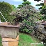 [象牙樹]換土整根換盆