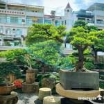 [大型庭園樹]羅漢松整理