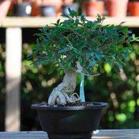 Bonsai indendørs (Indoor bonsai)