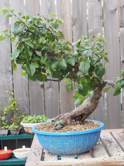 Apple Tree After Big Cut