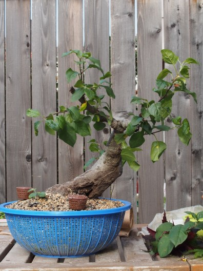 Apple Tree After All Pruning