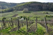 Printemps dans les vignes à Riquewihr