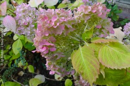 Les fleurs des vieux hortensias sont passées du bleu au vieux rose…