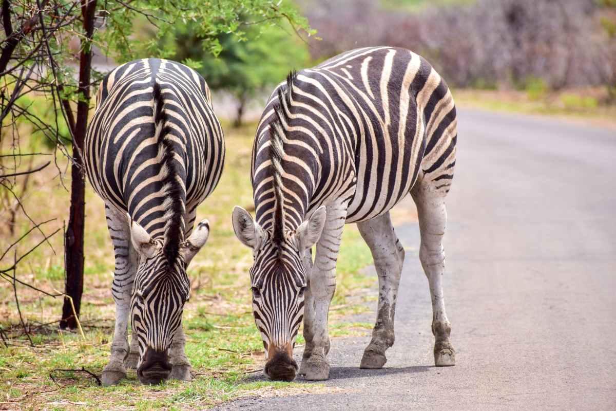 animal grass zoo zebra