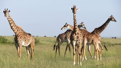 giraffes-on-safari