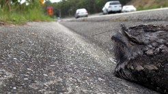 2-Tawny Frogmouth, traffic. Image by NoNeg
