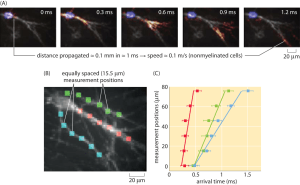» How fast are electrical signals propagated in cells?