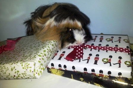 Guinea pigs are better at unwrapping than wrapping.