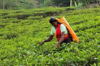 Определены лучшие турнаправления для любителей чая