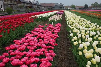 Тюльпаны в Нидерландах срезают, чтобы не допустить скопления людей