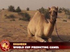 Верблюд Шахин уверен в победе Франции над Шейцарией