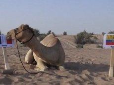 Верблюд Шахин выбирает Францию