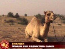Верблюд не верит в победу России
