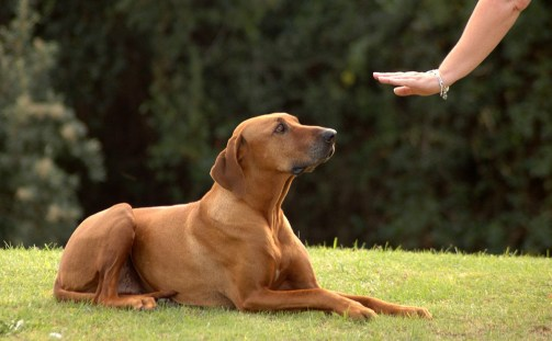 Teach Your Dog To 'Sit' (Tricks to Teach Your Dog)