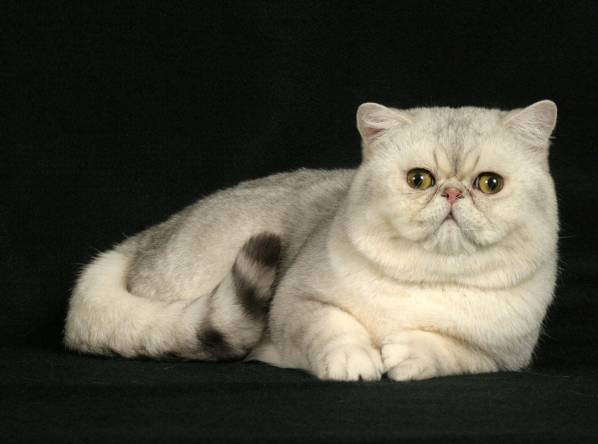 Exotic Shorthair (Best Cat Breeds)