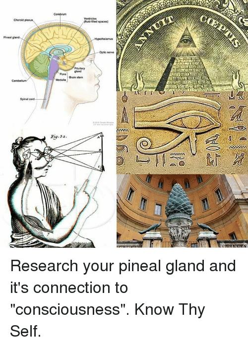 Choroid plexus Pineal gland