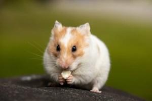 My new pet hamster