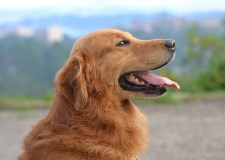 Golden Retrievers – All About This Friendly Dog Breed | Bookosmia