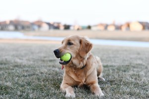 Golden Retrievers - All about this friendly dog breed