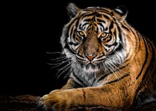 Save Tigers – The Time To Act Is Now | Bookosmia