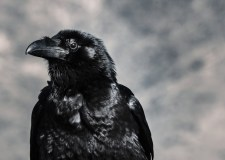 Bedtime Story : The Proud Crow