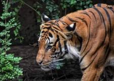 Tiger – Escaping My Predator | Bookosmia