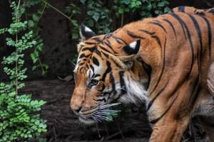 Tiger - Escaping my predator