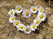 Heart Shapped Daisys Free Use