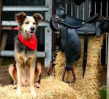 Cowboy Dog & Saddle Free Use - Copy