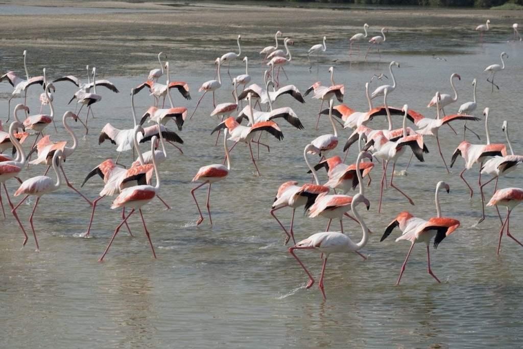 flamingos-taking-off-dubai-1