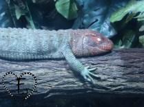 Krokodiltejus fressen mit Vorliebe Schnecken - und sind dabei kleine Gourmets