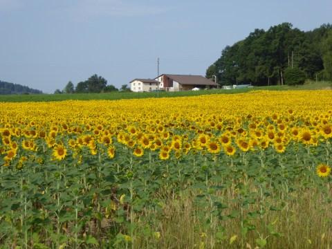 Photo 7: Sunflower field upon leaving Stein am Rhein
