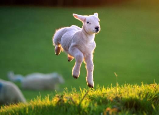 spring-lamb