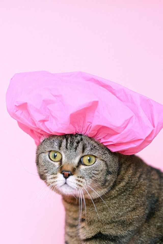 brown tabby cat wearing shower cap