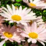 Field of Daisies - Eric Douglass