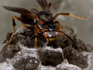 Paper wasp foraging