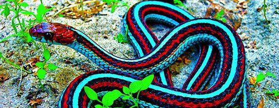 Snake Blind