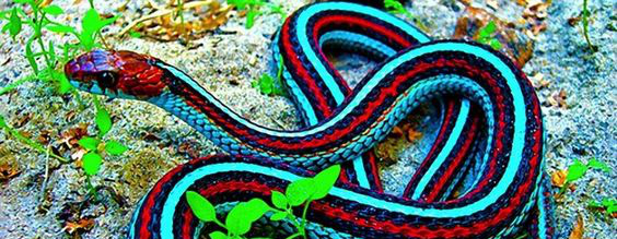 Snake Blind: Red-sided Garter Snake