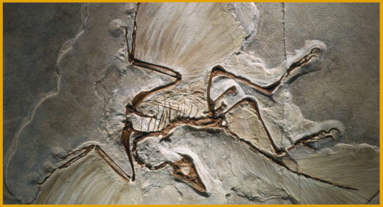 The Archeaeopteryx is an example of why microevolution & macroevolution are insufficient, and we need small evolution and large evolution.