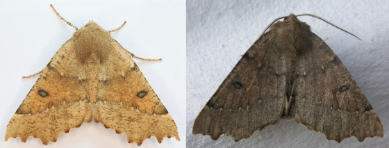 Industrial melanism: tan and near-black versions of the scalloped hazel moth, Odontopera bidentata, illustrating how evolutionary pressure/selection pressure acts on the bell curve