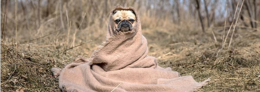 Humorous Pug in Blanket