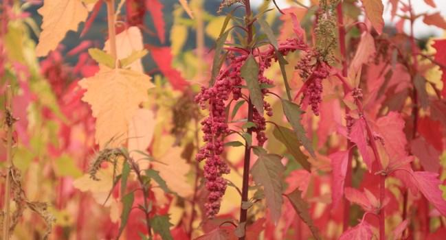 [鹿野景點] 季節限定!! 紅藜的光譜-武陵綠色隧道