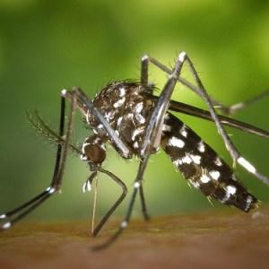蚊(Mosquito)
