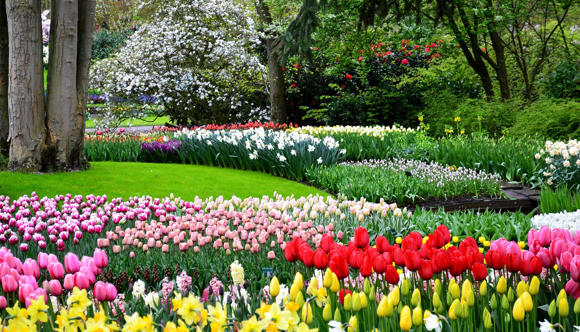 tiptoe   tulips  keukenhof gardens