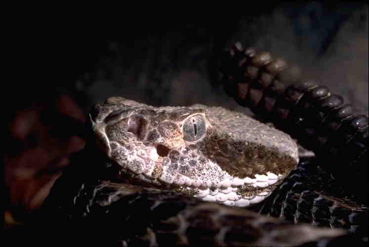 Boondocker Chatter Online - Rattlesnakes
