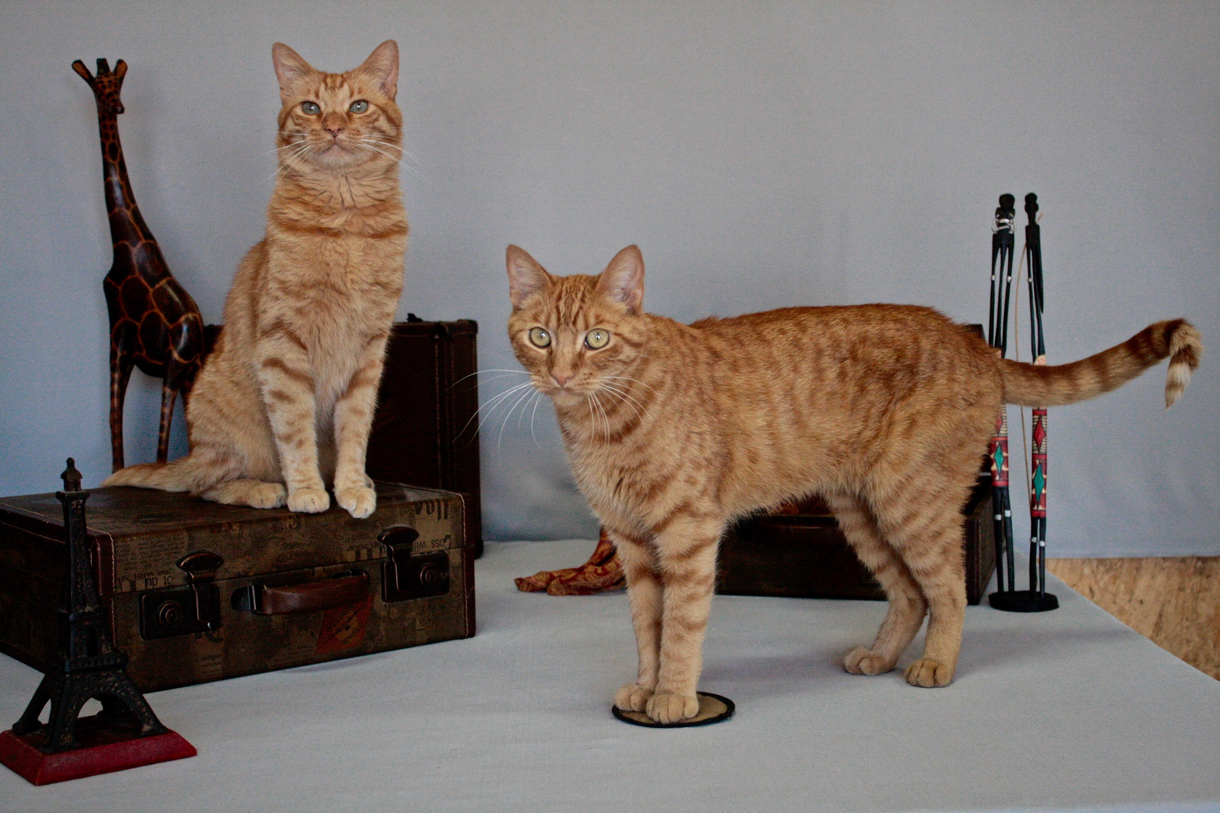 Orange Tabby Animals For Hollywood