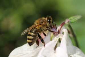Plant a honey bee-friendly garden