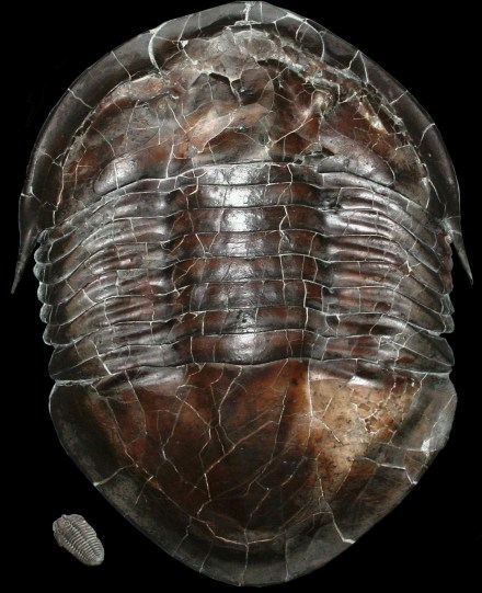 Trilobite Fossil, Dayton Society of Natural History