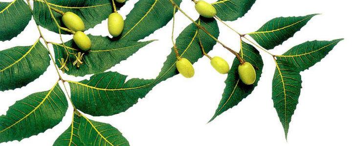 neem-leaves-seed