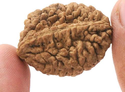 rudraksha brain